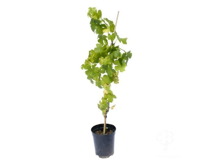 potted-live-grapevines-gardenista