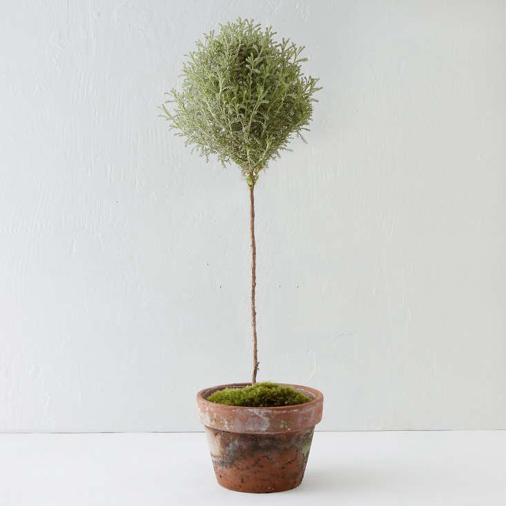 potted-topiary-santolina-herb-gardenista