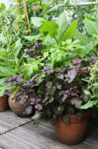 Potted Shiso purple green leave ; Gardenista