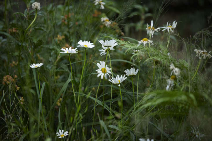 primrose-hill-garden-jb-daisies