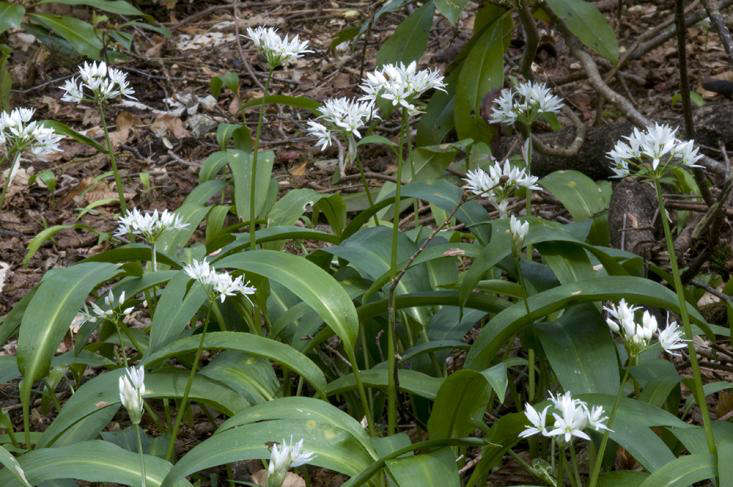 ramps or wild garlic_foraging in Scotland