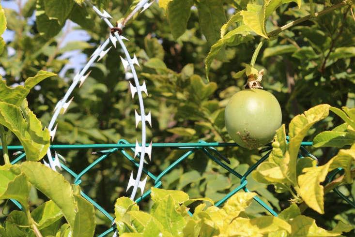razor-wire-oranjezicht-city-farm-gardenista