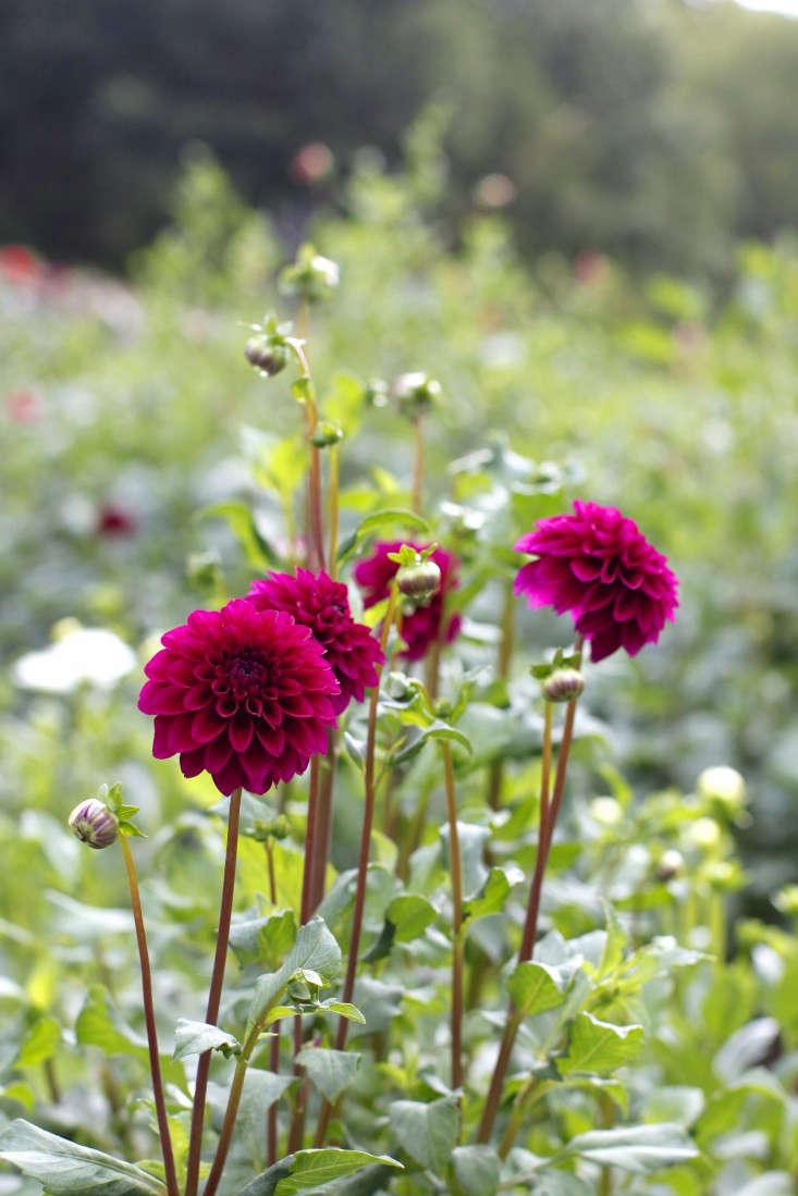 robin-hollow-farm-christine-chitnis-gardenista-dahlias-4
