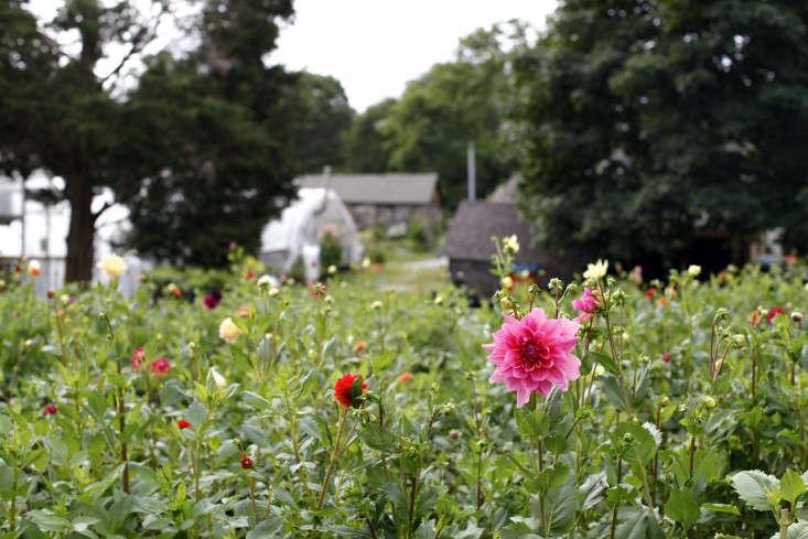 robin-hollow-farm-christine-chitnis-gardenista-dahlias-5