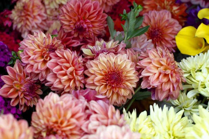 robin-hollow-farm-christine-chitnis-gardenista-dahlias-mauve-yellow-orange
