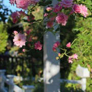 roses on arbor in mill valley