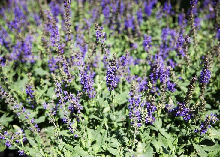 salvia at jo malone fragrance garden in gowanus brooklyn on gardenista