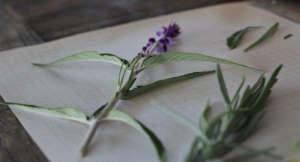 Garden Tech Leaf Snap ID salvia plant herbs ; Gardenista