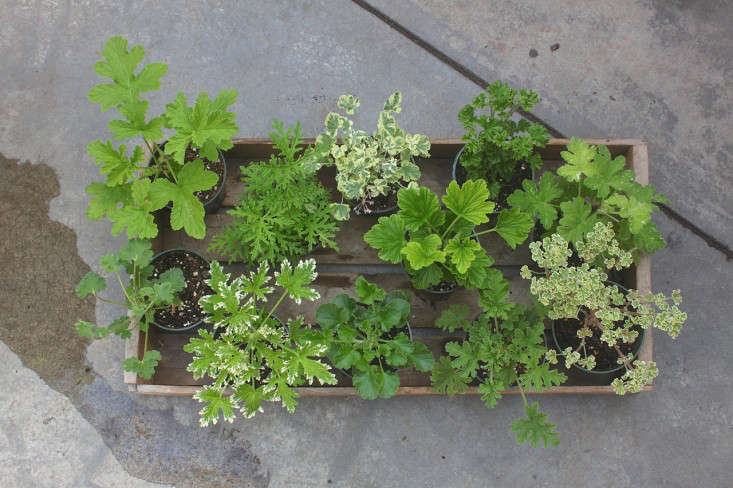 Scents And Sensibility The Scented Geranium Is Spring S