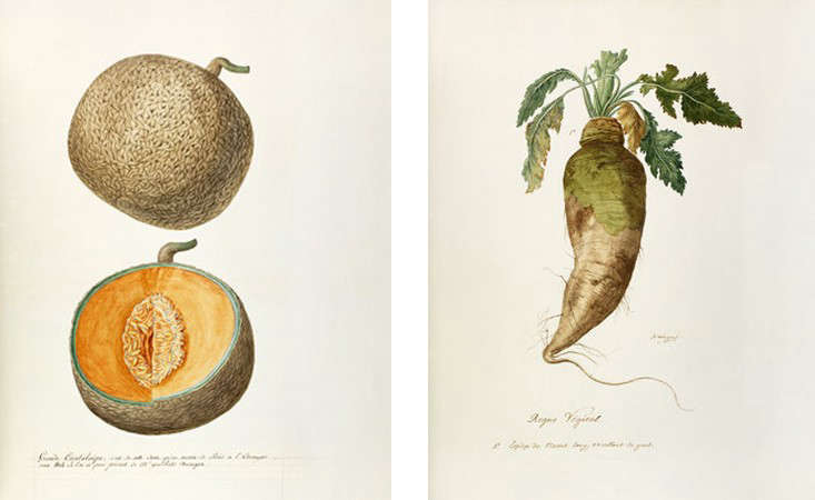 scientific-drawings-royal-horticultural-society-gardenista