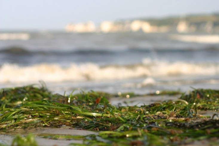 seaweed_flatworldsedge