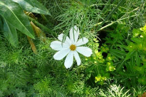 White cosmos wildflower annual ; Gardenista