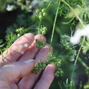 seed_saving_coriander_abbymeadow_gardenista