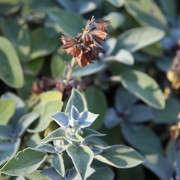 seed_saving_sage_abbymeadow_gardenista