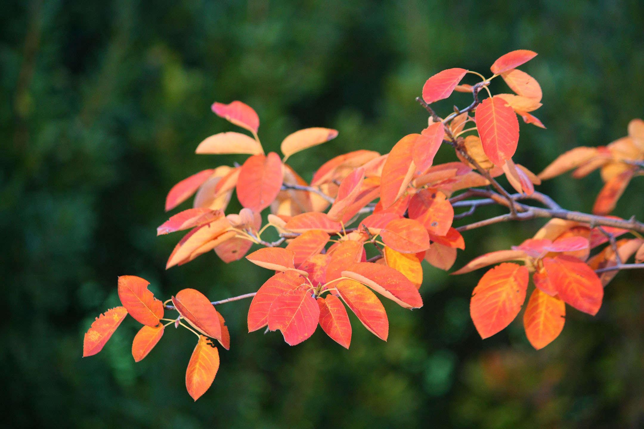 serviceberry-marie-viljoen-gardenista