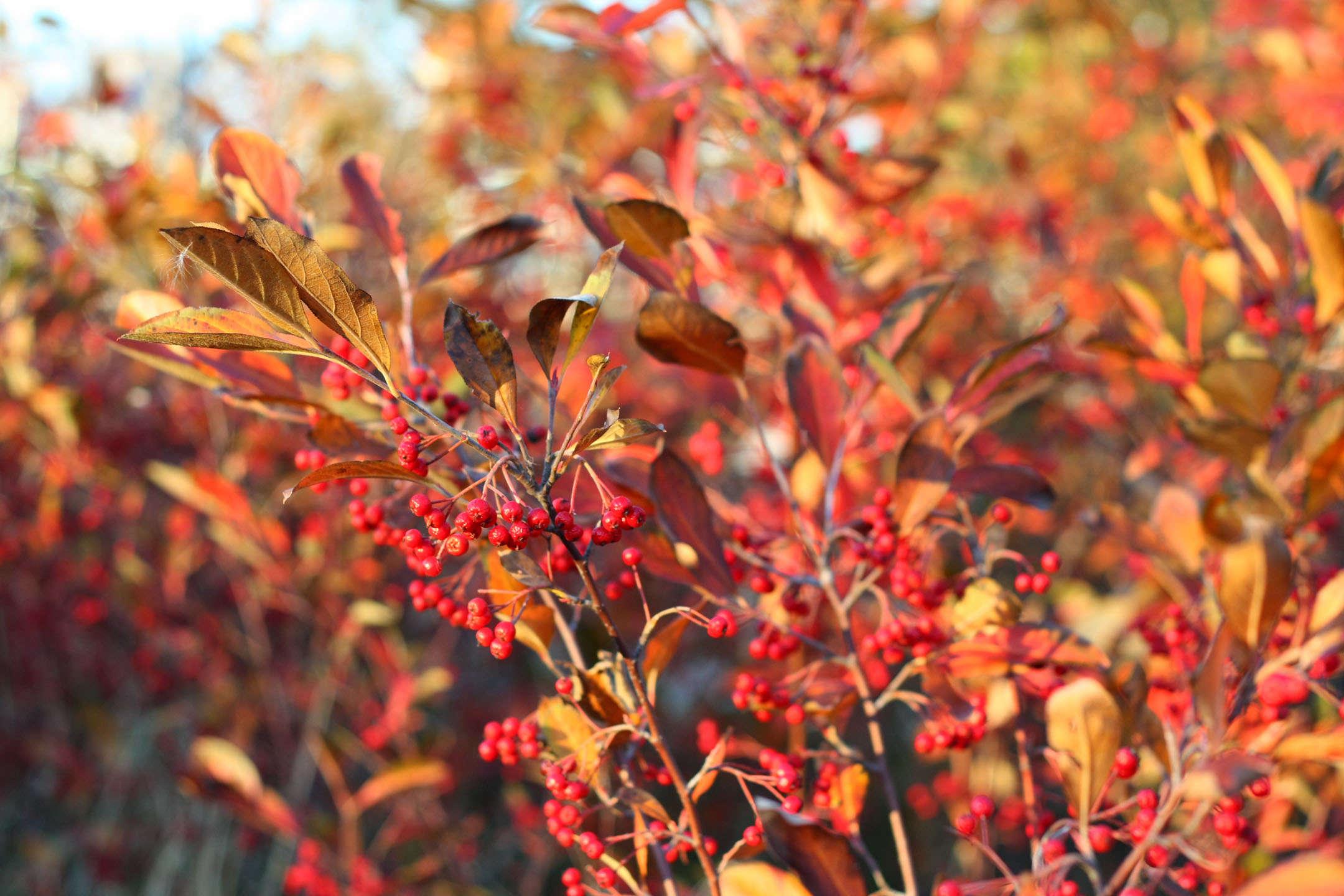 Éxito sin sol: 15 gran, fácil de cultivar arbustos para la sombra | Artículos de Jardinería de Estado por Estado