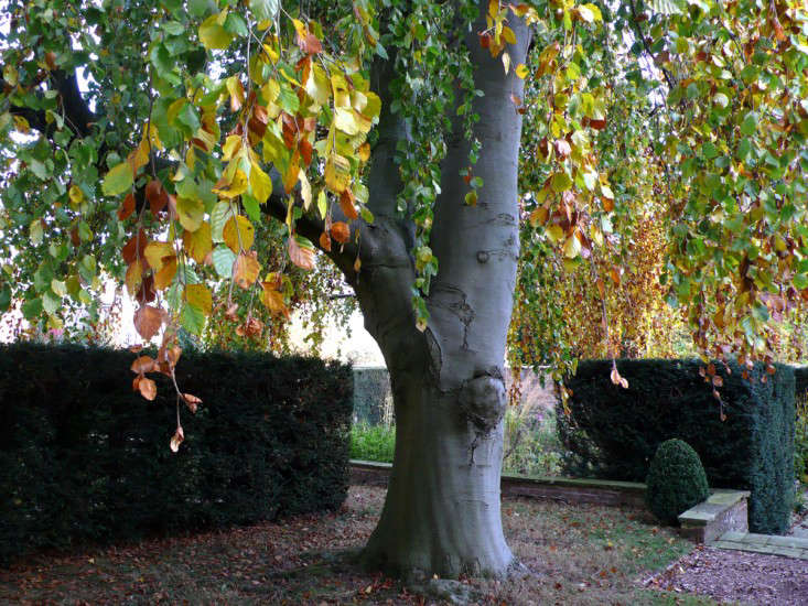 small_weeping_beech