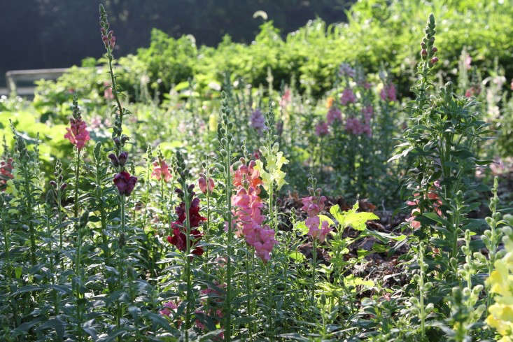 snapdragons at barberry hill farm