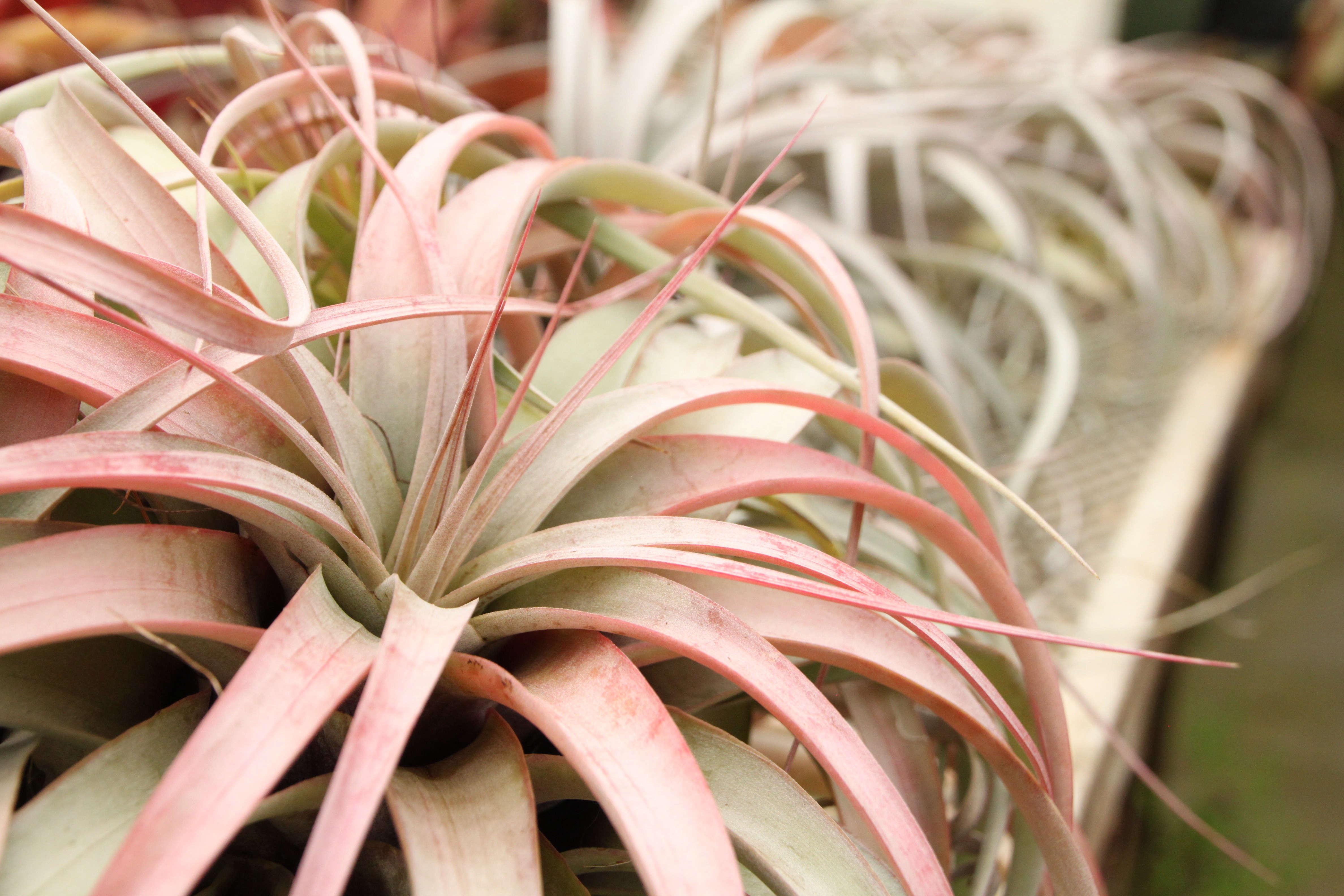 succulent-shelldance-orchid-gardens-gardenista