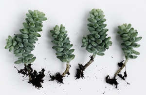 Burro's tail succulent plant drought growing guide ; Gardenista