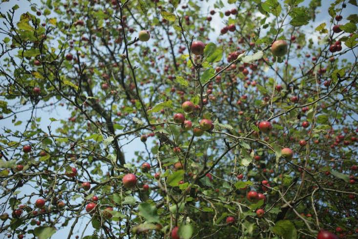 sulby-apple-tree