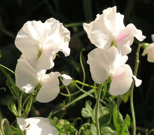sweet-pea-flowers