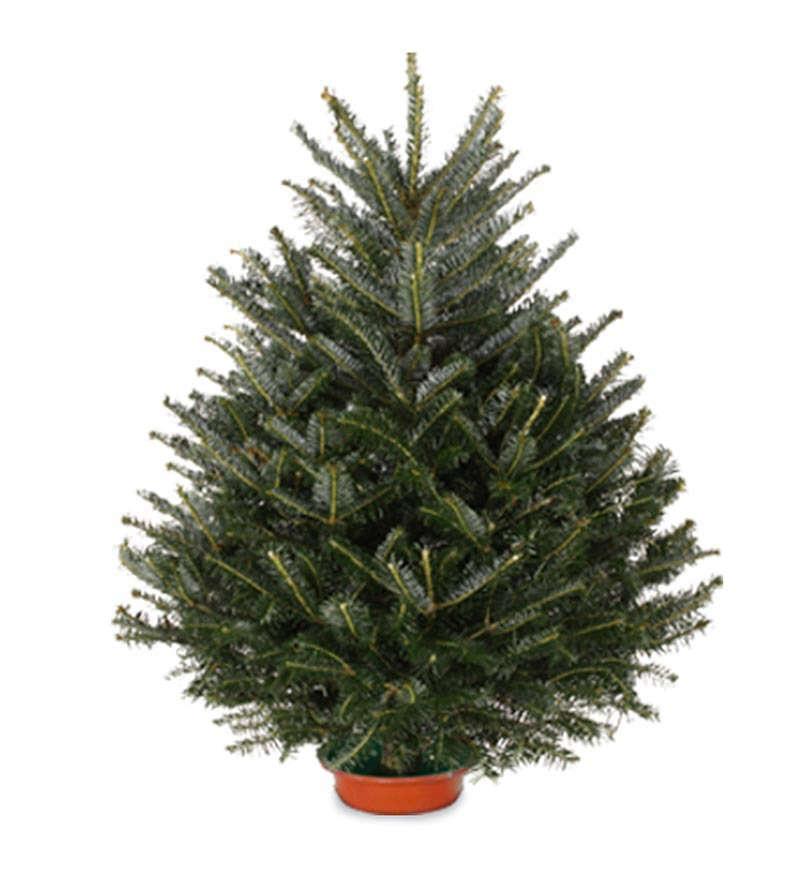 tabletop-christmas-tree-fresh-cut-fraser-fir-gardenista