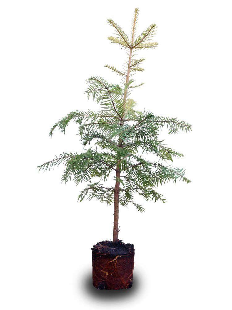 tabletop-grand-fir-large-gardenista