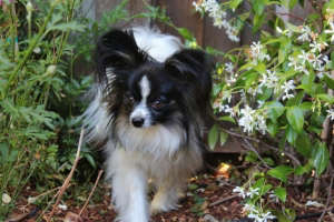 larry dog papillon on prowl for the neighborhood squirrel