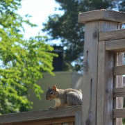 the neighborhood squirrel