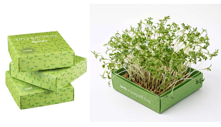 tiny-gardens-microgreens-sprouts-gardenista