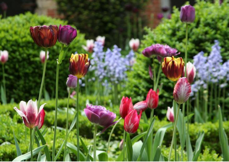 tulips-belgium-ronald-van-der-hilst-gardenista