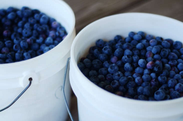 two buckets of blueberries tend