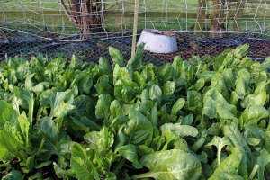 Spinach beet, UK allotment, Northamptonshire. Gardenista