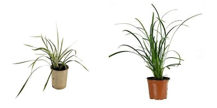 variegated-mondo-grass-liriope-gardenista