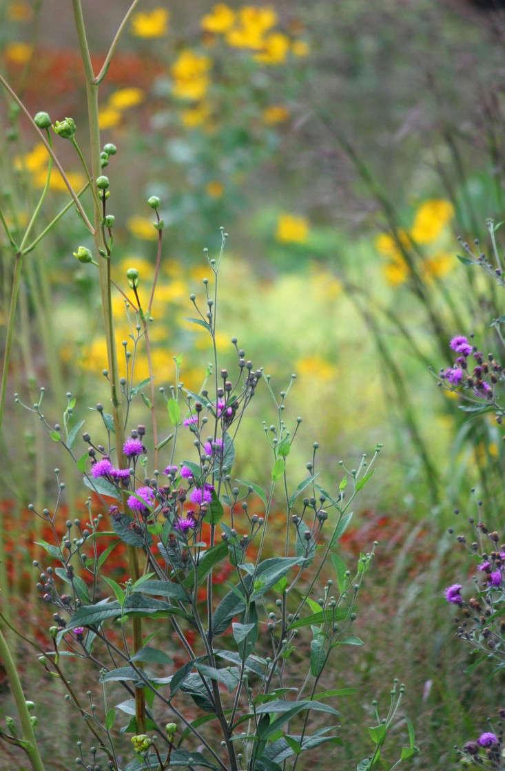 vernonia2-marie-viljoen-gardenista
