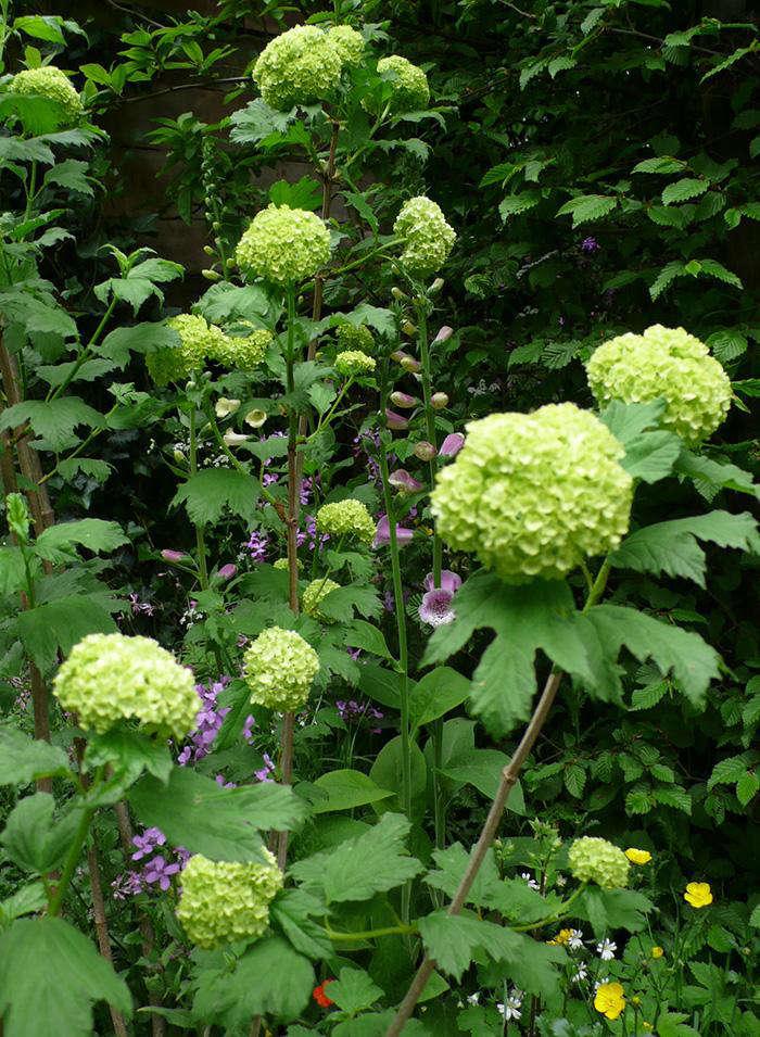 viburnum opulus 39 roseum 39 snowball gardenista. Black Bedroom Furniture Sets. Home Design Ideas
