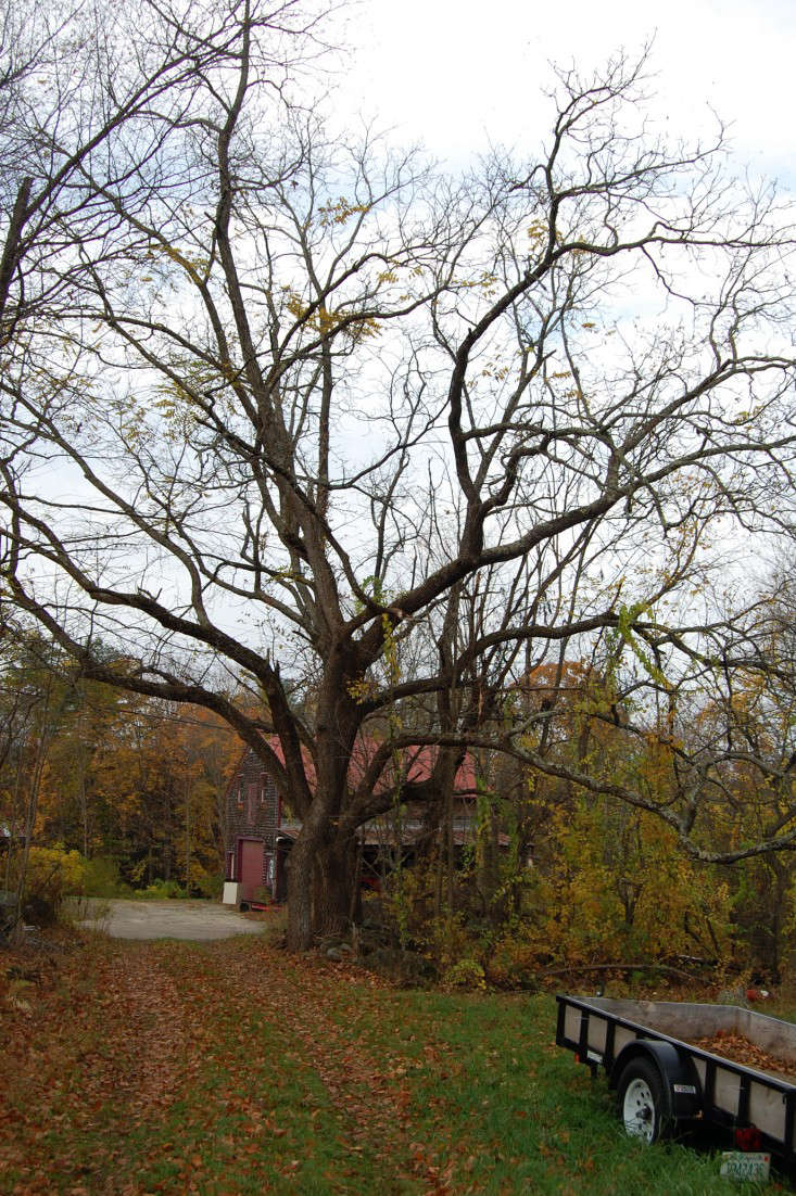 walnut-tree-liane-tyrell-gardenista