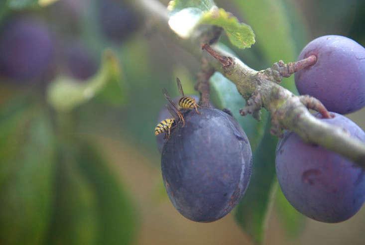 wasps_plum_1