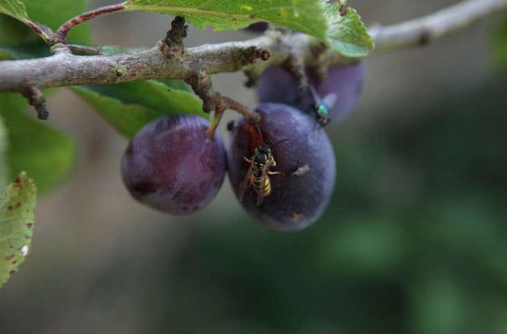 wasps_plum_4