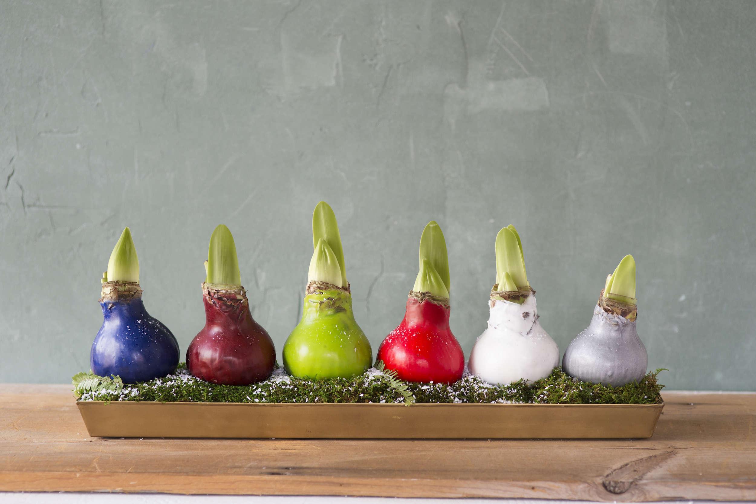 waxed-amaryllis-bulbs-gardenista-1