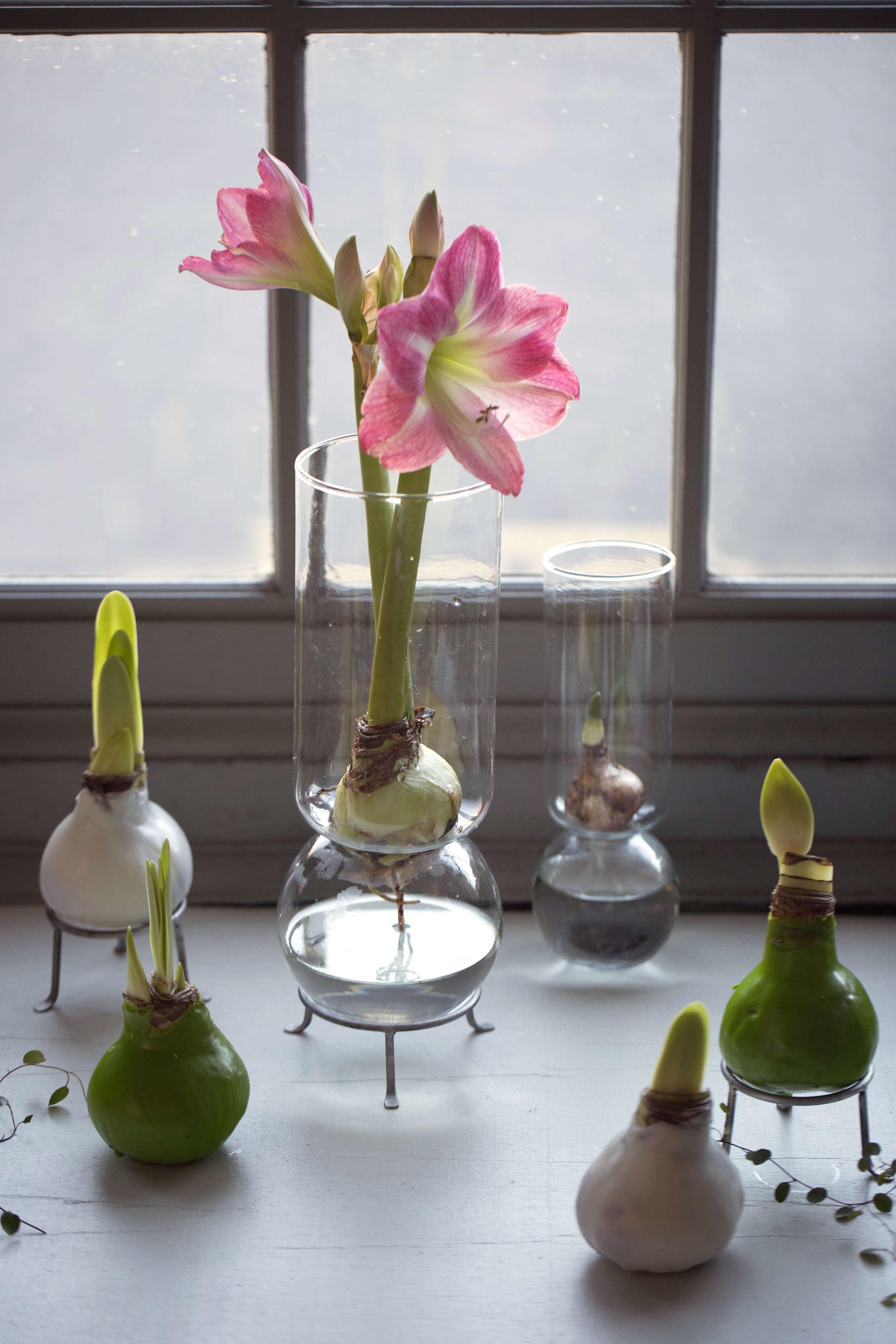 waxed-amaryllis-bulbs-gardenista-4