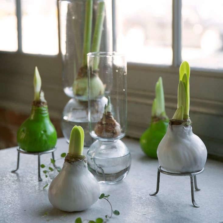 waxed-amaryllis-bulbs-gardenista