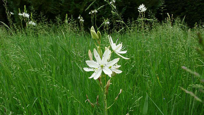 white camassia in long grass
