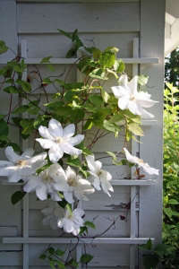 white clematis curb appeal flowering vine ; Gardenista