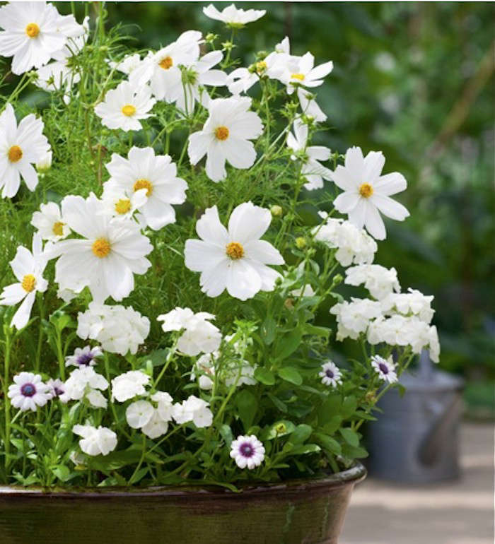 white-cosmos-sarah-raven-gardenista