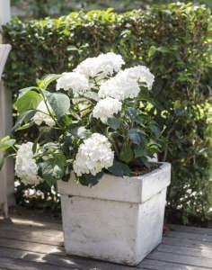 White garden planter hydrangeas ; Gardenista
