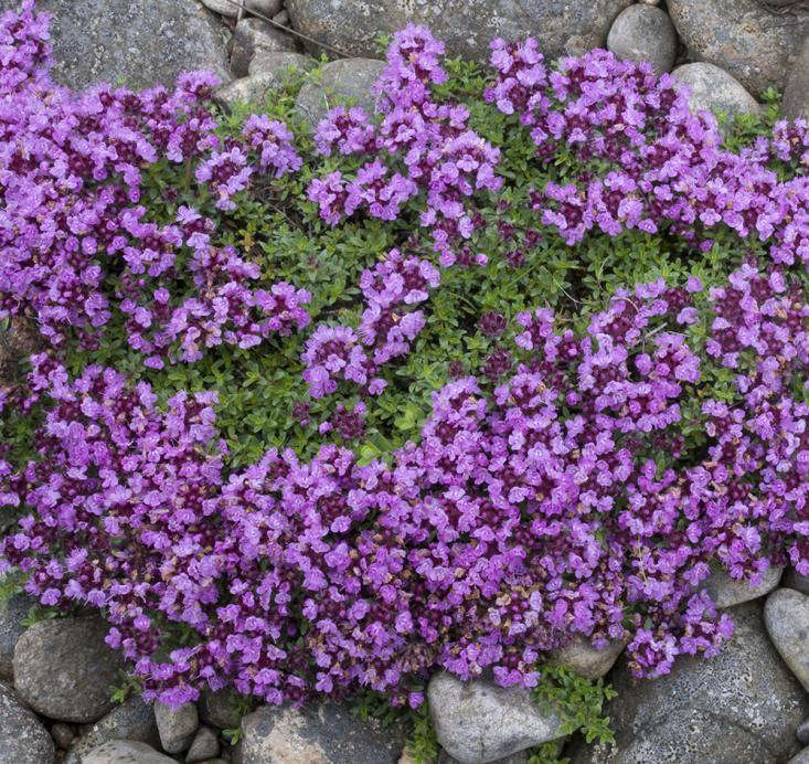 wild thyme_foraging in Scotland