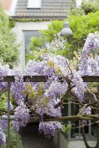 Wisteria vine blue rain -gardenista