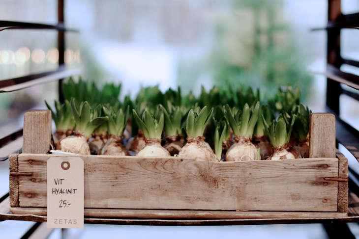 zetas-tradgard-stockholm-hyacinth-bulbs-gardenista